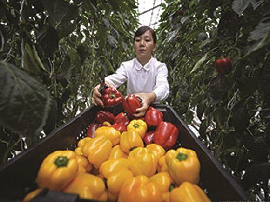 Совхоз «Тепличный» расширил закрытые плантации